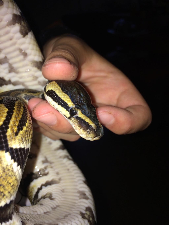 Anomalie œil python royal  Img_0510