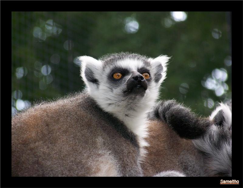 Le maki catta (Lemur catta) Coati_10