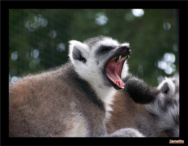 Le maki catta (Lemur catta) Coati_11