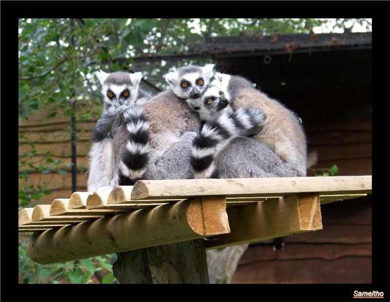 Le maki catta (Lemur catta) Coati_12
