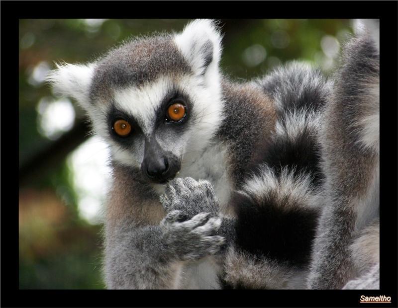 Le maki catta (Lemur catta) Coati_13