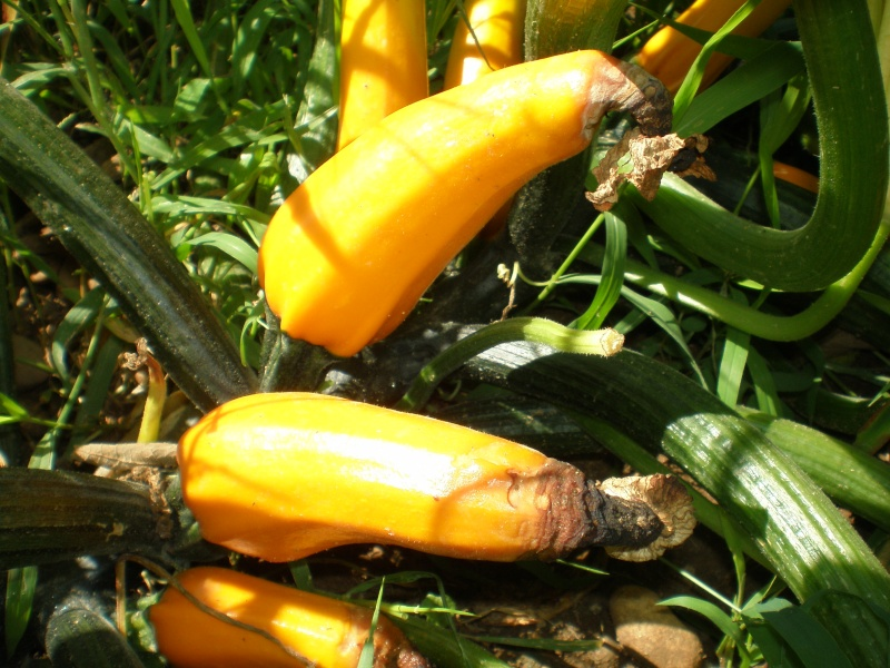 Courgettes 3aout015
