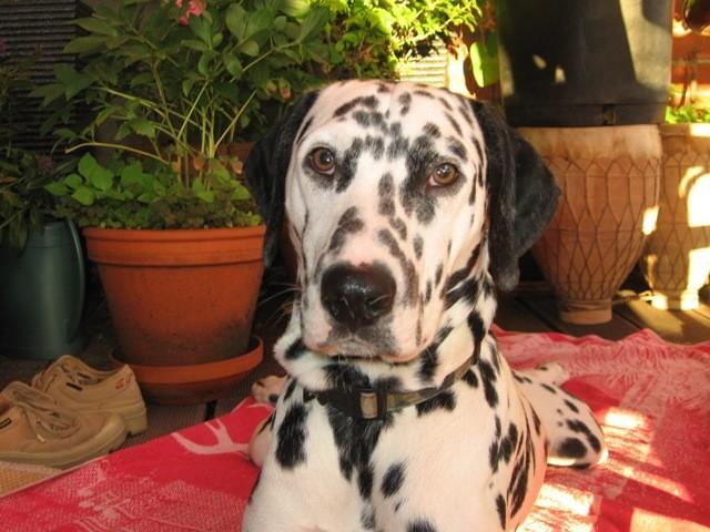 Domino dalmatien mâle 2 ans en Fa en belgique asso dalmasf Domino10