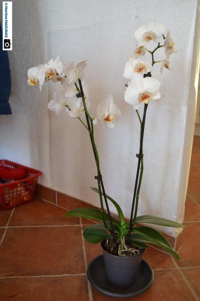 Phalaenopsis 01-04-10