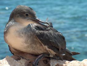 Le Puffin des Baleares Puffin10