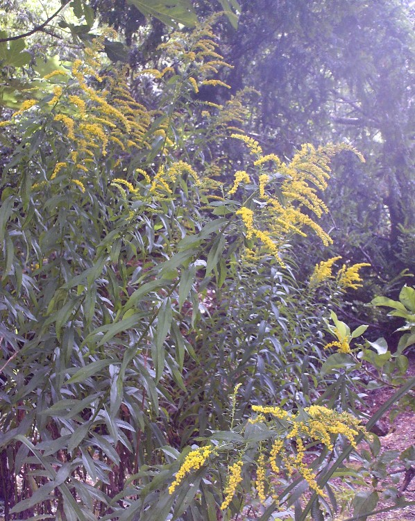 Verge d'or - Solidago Hpim7217
