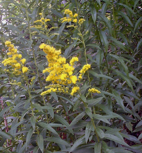 Verge d'or - Solidago Hpim7218