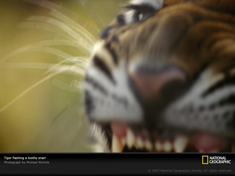 FOTOS ESPECTACULARES DE TODO EL MUNDO - Página 6 Tiger-10