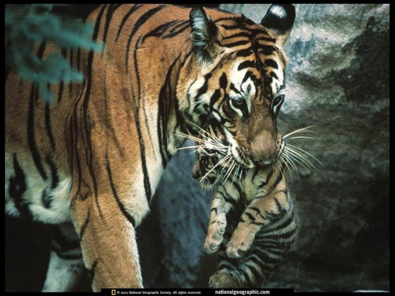 FOTOS ESPECTACULARES DE TODO EL MUNDO - Página 3 Tigre10
