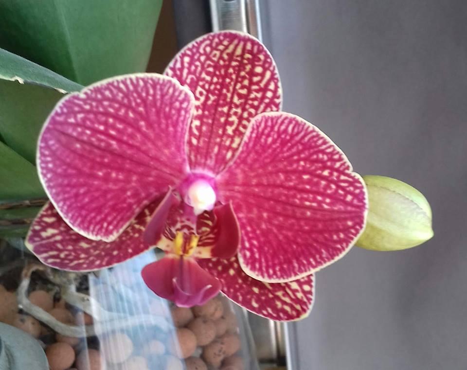 phalaenopsis 53137510