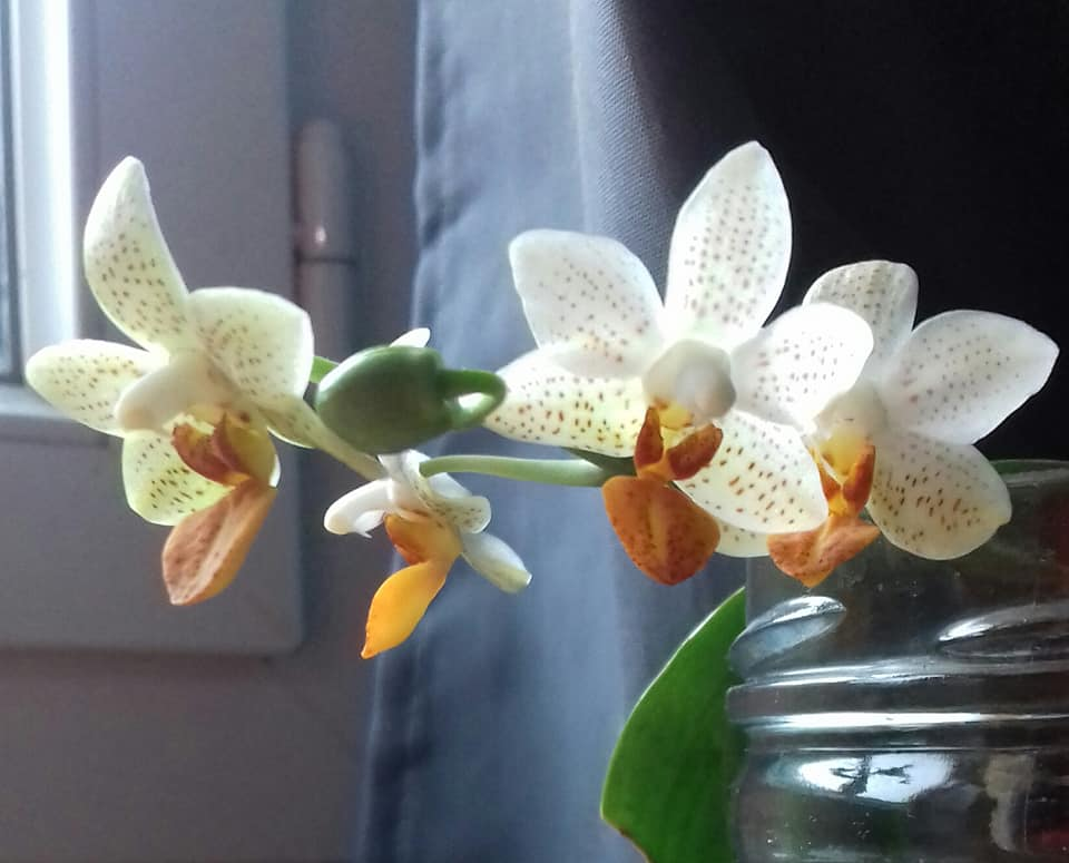 phalaenopsis mini mark 54525210