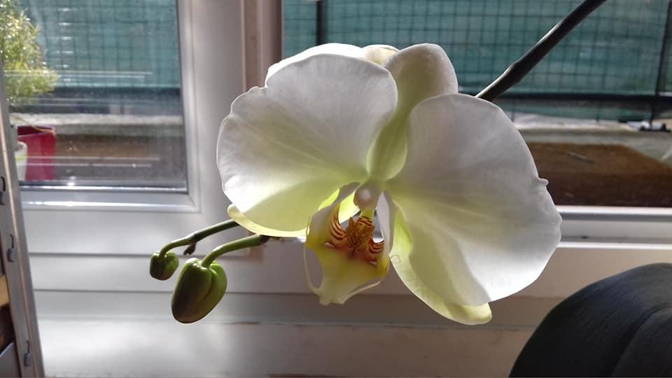 phalaenopsis 55627710