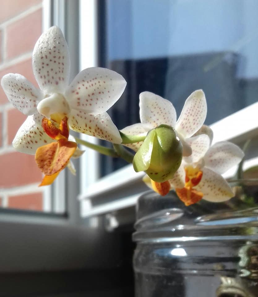 phalaenopsis mini mark 55829110