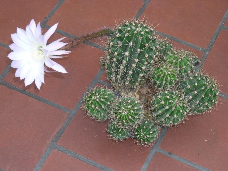 un de mes cactus en fleur.............. Dscn3618