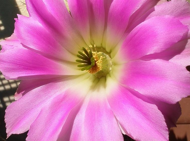 spring cacti flowers - Page 3 Echino10