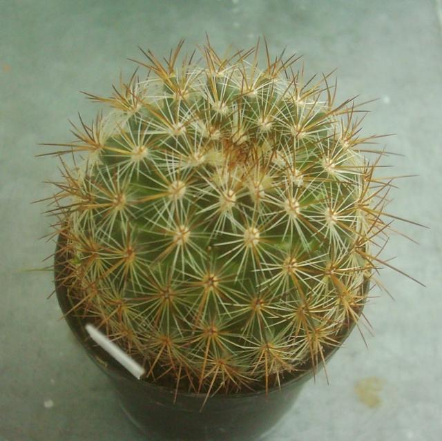 Mammillaria discolor v. longispina Discol10