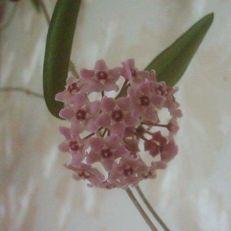 another non Mammillaria: Hoya Dsci0010