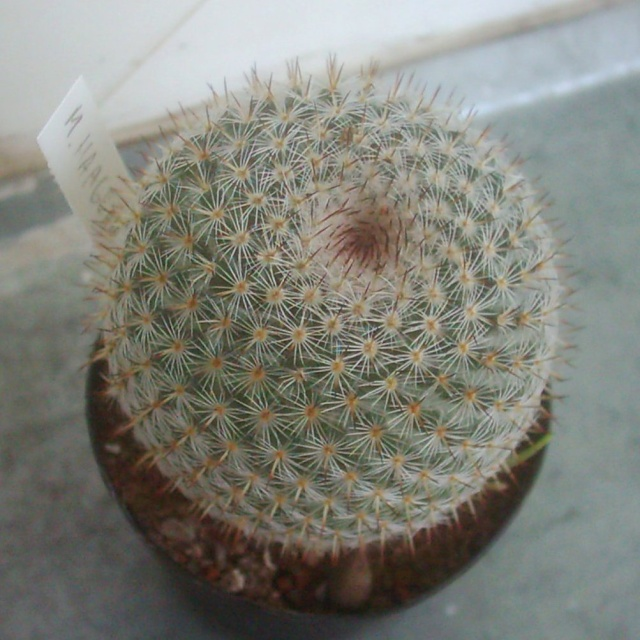 Mammillaria haageana SB 680 Haagea10