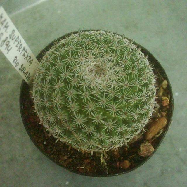 Mammillaria supertexta RS 894 Supert10