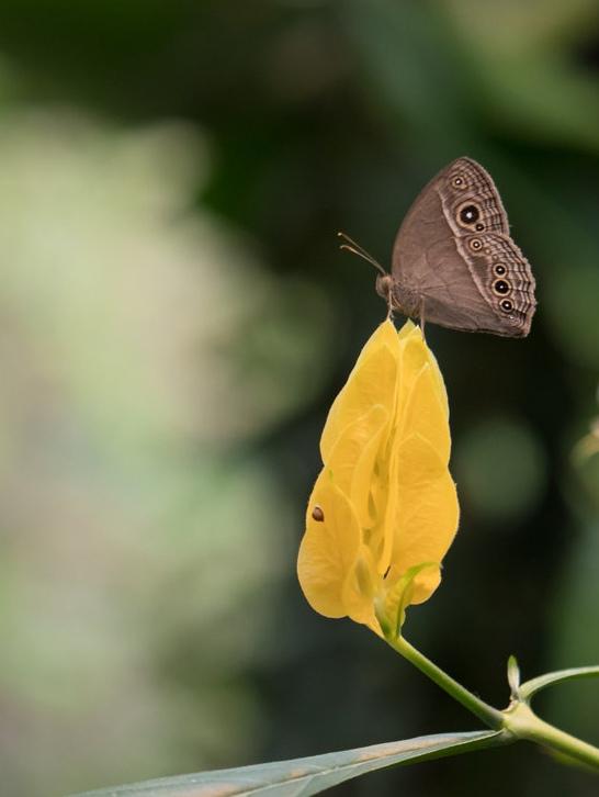 Papillon 19081710