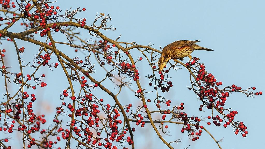 Grive mauvis (Turdus iliacus) 50748310
