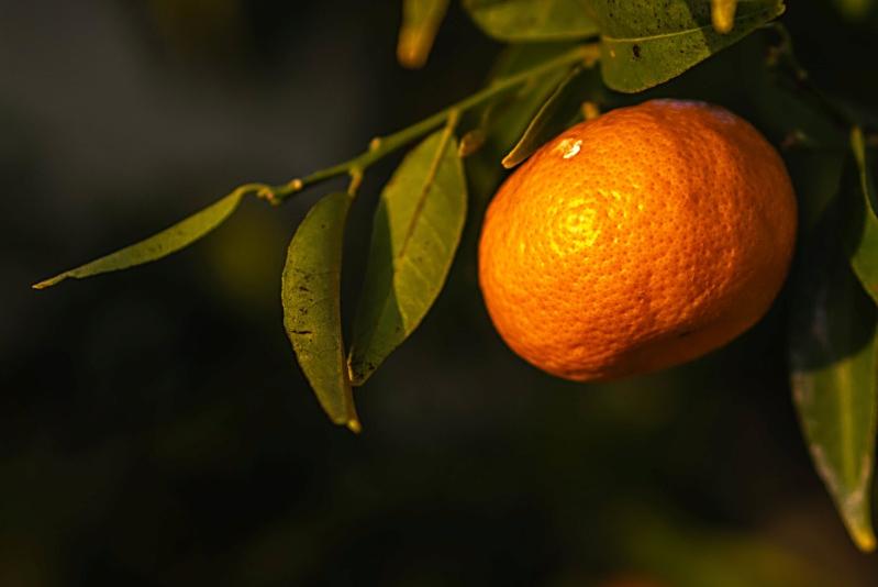 Dernière mandarine, première fleur... P1150710
