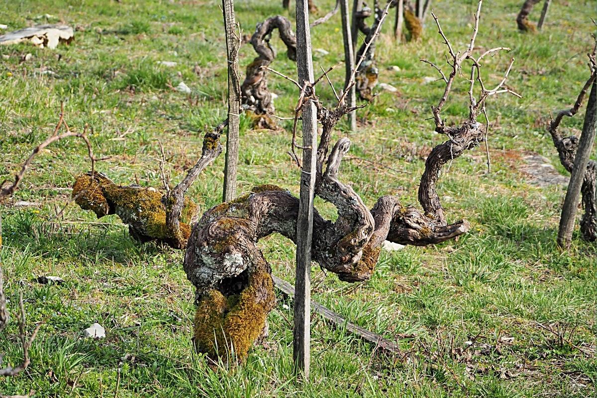 La revendication des vieilles vignes P3071910