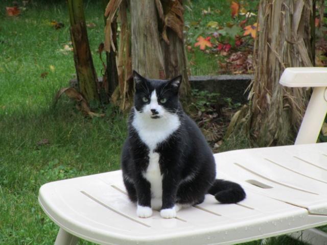 HUNA, chatte européenne Noire&blanche, née en 2012 Img_1410