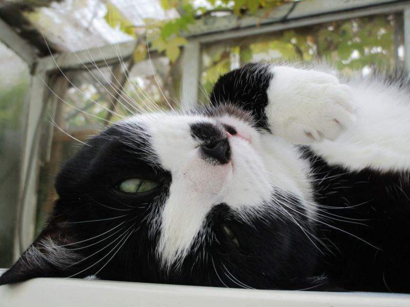 HUNA, chatte européenne Noire&blanche, née en 2012 Img_1413