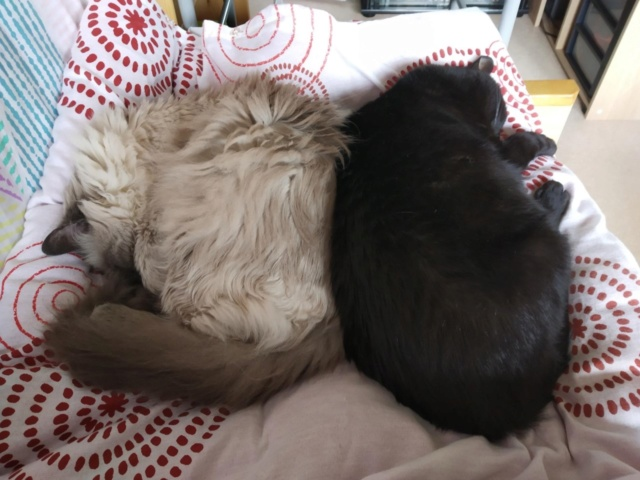 LYNN, chatte noire née en 2015 Lynn210