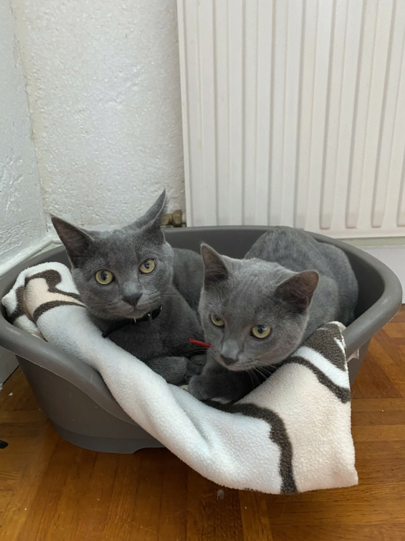 RAMSA, chatonne gris tigrée, née le 07.05/20 Rasma310