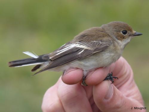 sauvetage oiseau de la nature Gobemo10