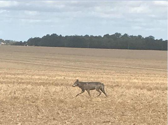 [Faune] Un loup observé en Eure-et-Loir.  Loup_410