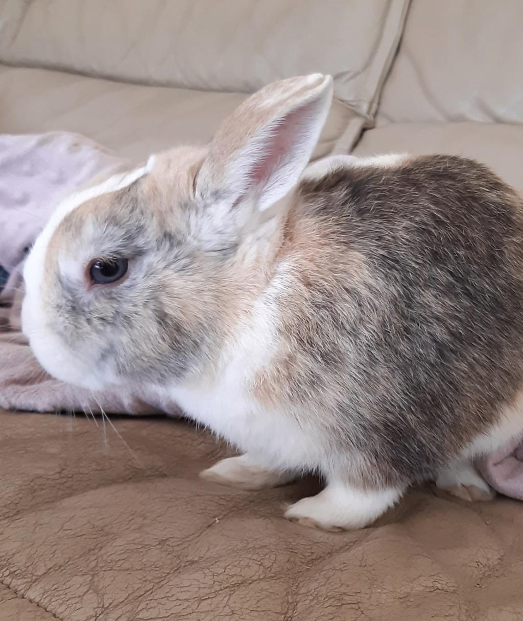 Rimbaud, lapin nain mâle d'au moins 3 ans. 20200710