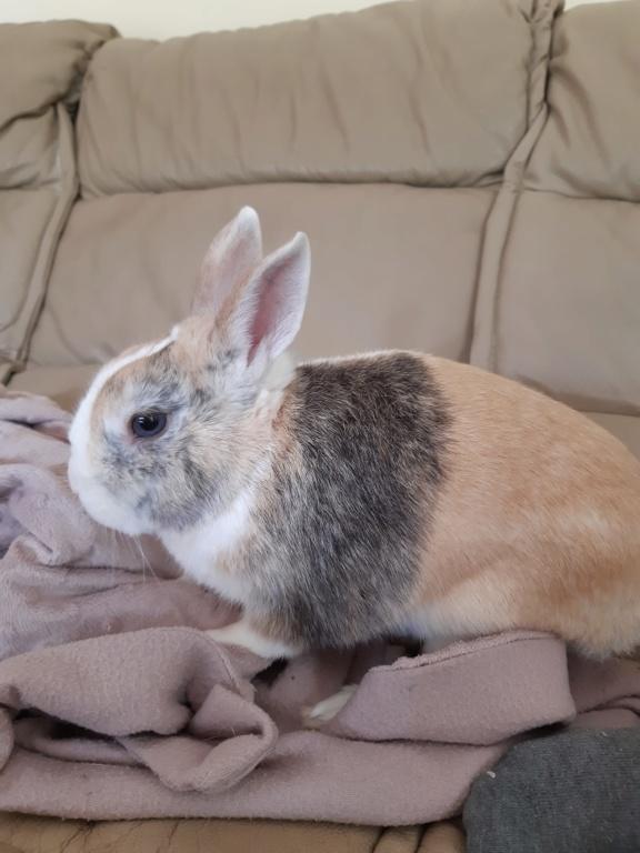 Rimbaud, lapin nain mâle d'au moins 3 ans. 20200711