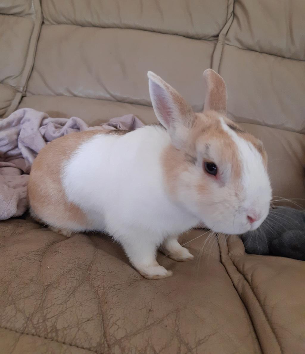 Rimbaud, lapin nain mâle d'au moins 3 ans. 20200712