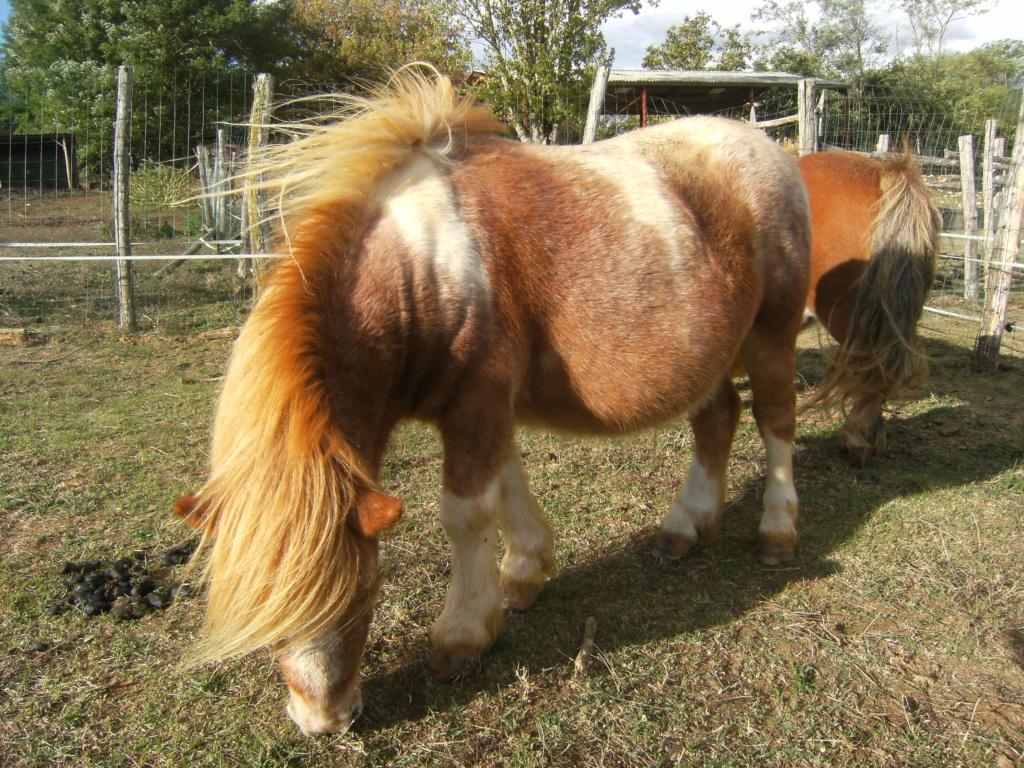 ( Dépt 24) Jerry poney ONC né en 2011, contact Pascale76 Dscf6010