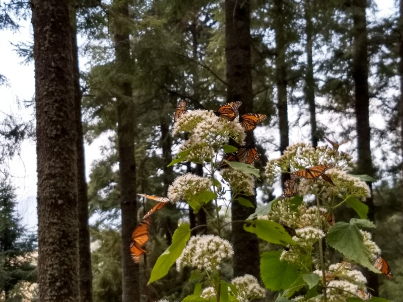 Monarch Butterfly Sanctuary But710