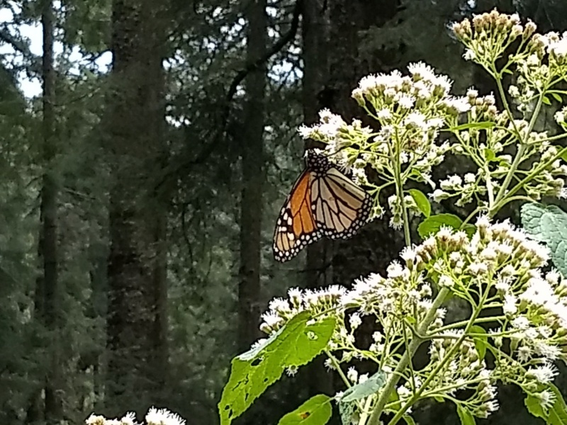 Monarch Butterfly Sanctuary But910