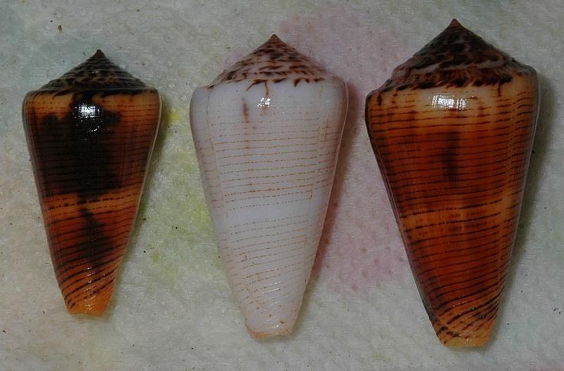 Conus (Pionoconus) magus assimilis Adams, 1855 voir Conus (Pionoconus) magus - Page 2 Magusa11
