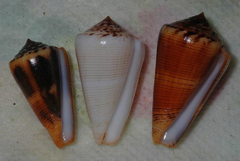 Conus (Pionoconus) magus assimilis Adams, 1855 voir Conus (Pionoconus) magus - Page 2 Magusb11