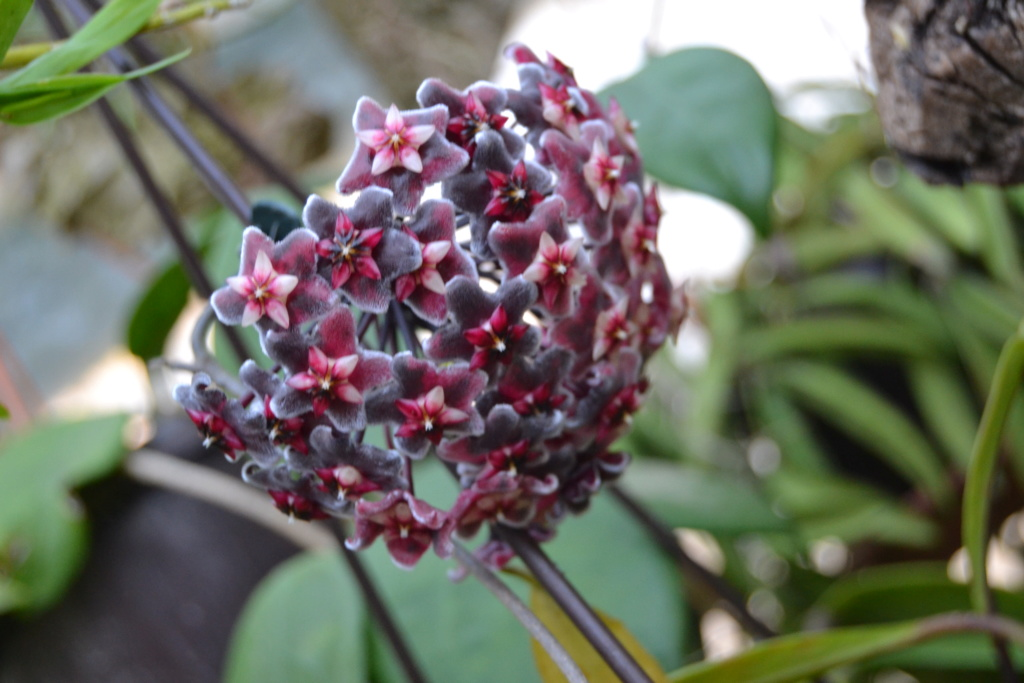 Hoya pubicalyx  Red Buttons 311