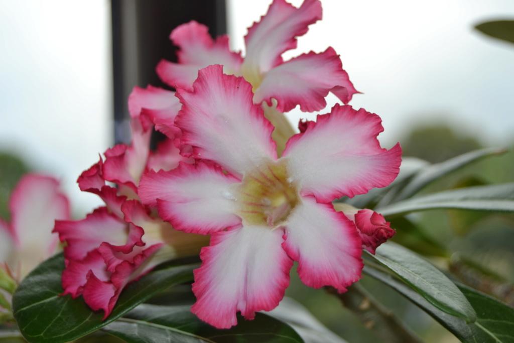 Floraison  Adenium  610