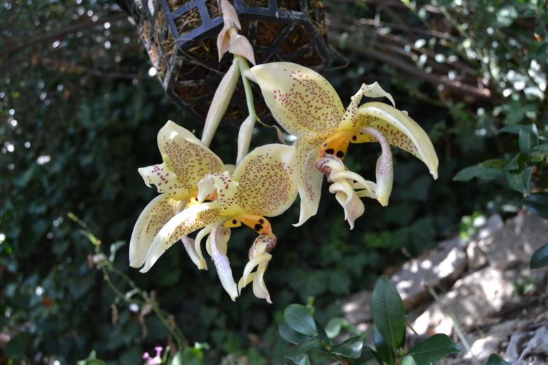 Stanhopea oculata Dsc_0040