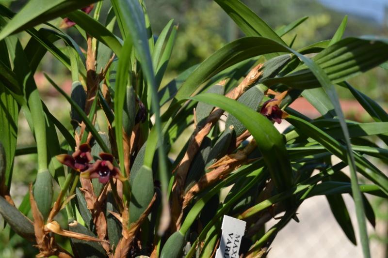 Maxillaria variabilis Dsc_0045