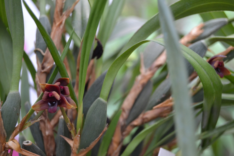 Maxillaria variabilis Dsc_0046