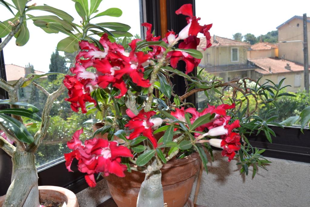 Floraison  Adenium  Dsc_0056