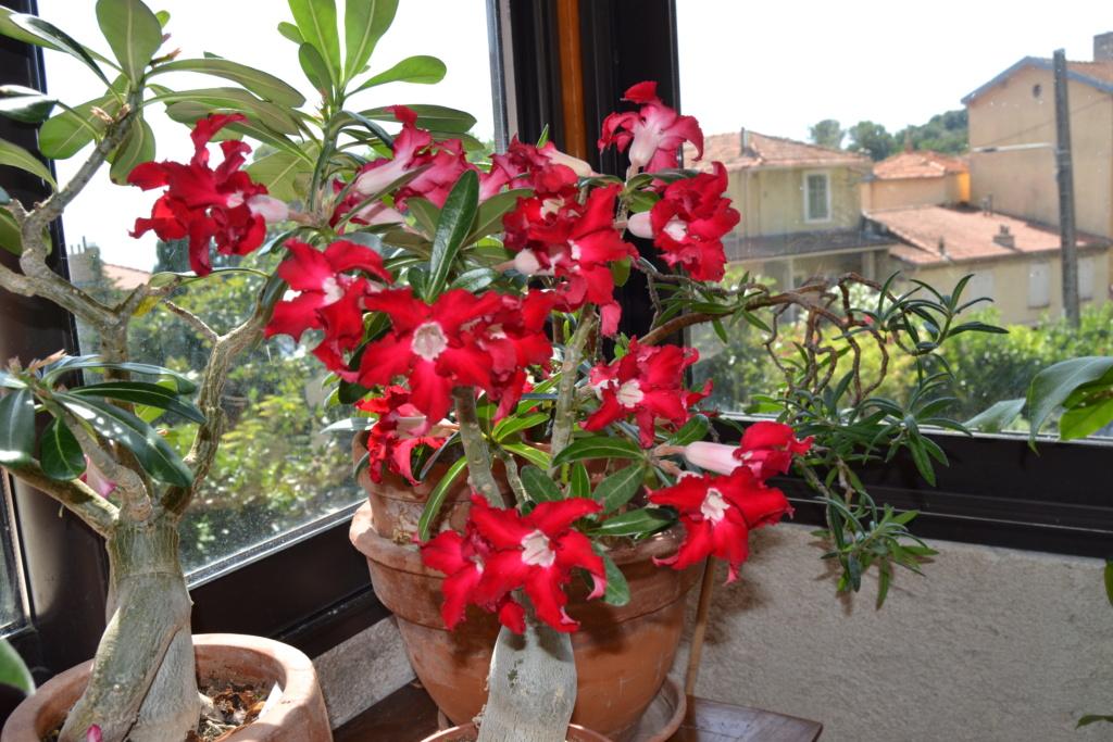 Floraison  Adenium  Dsc_0058