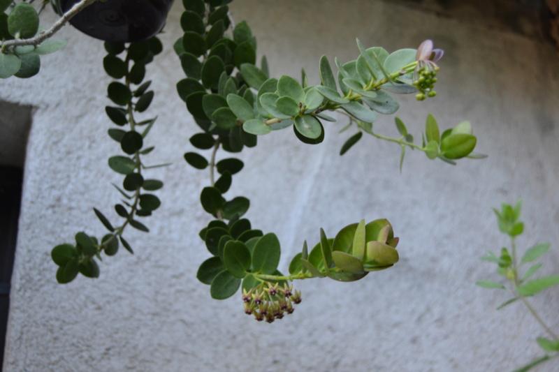 Hoya cumingiana Dsc_0149