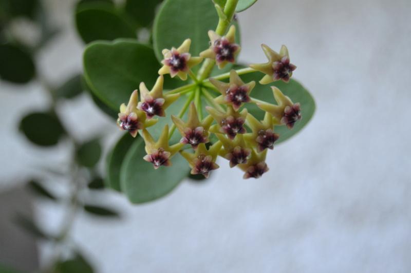 Hoya cumingiana Dsc_0150